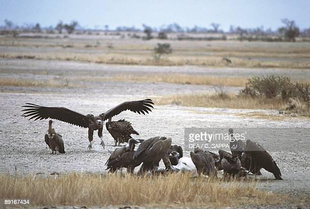 Group of Eurasian Black Vultures gathered in desert