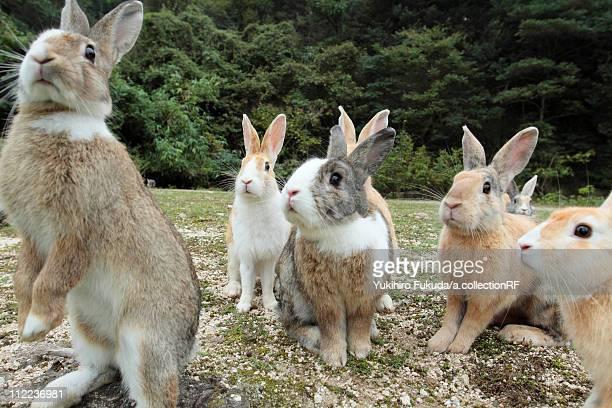 Group of European Rabbits