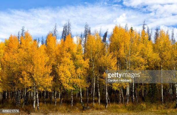 Group of fall trees