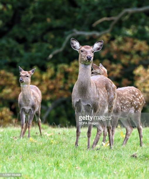 Group of fallow deer are seen at Woburn Deer Park in Bedfordshire at the start of the rutting season.