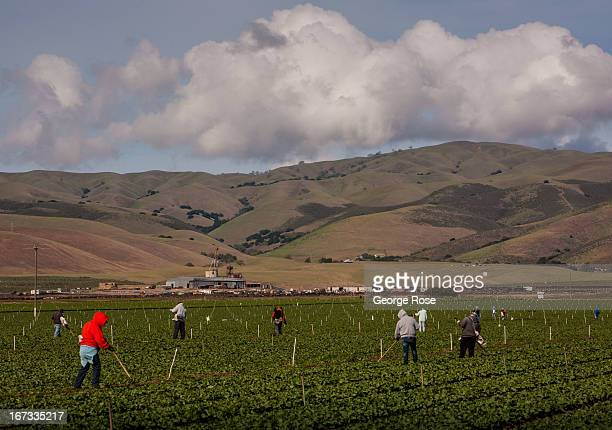 A group of farm workers pull weeds from a field of lettuce on April 4 near Gonzales California The Salinas Valley backdrop for several John Steinbeck...