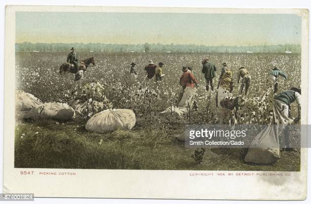 Group of farm workers with sacks picking cotton in field 1914 From the New York Public Library