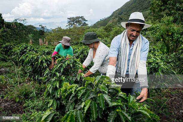 group of farmers collecting coffee beans - latijns amerika stockfoto's en -beelden