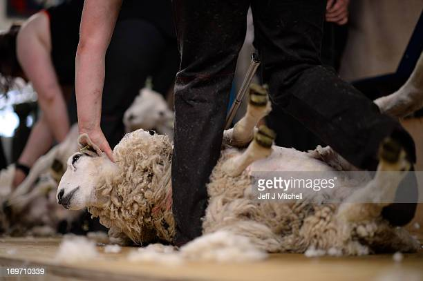 A group of female farm workers take part in a charity sheep shearing marathon at Newton Stewart Market on May 31 2013 in Newton Stewart Scotland The...