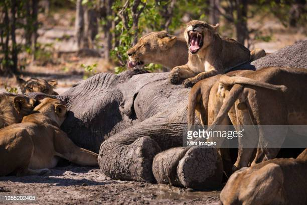 a group of female lions feeding on a dead elephant in a game reserve. - hunting stock pictures, royalty-free photos & images