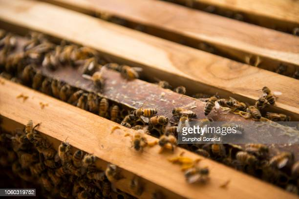 a group of female worker bees on frame edge of a beehive - honey bee stock pictures, royalty-free photos & images