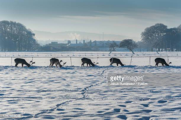 a group of five deer in search for food covered under snow. town in background. - medium group of animals stock pictures, royalty-free photos & images