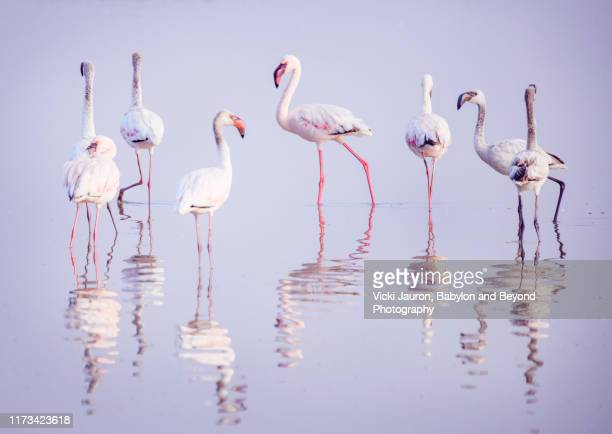 group of flamingo with reflection in water at amboseli, kenya - flamingo stock pictures, royalty-free photos & images