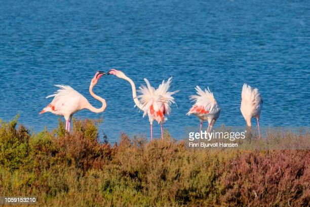 group of flamingoes standing in the water and two is arguing - finn bjurvoll stockfoto's en -beelden