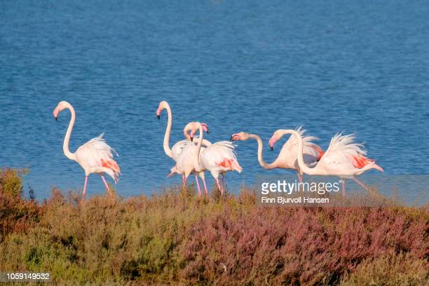 group of flamingoes standing in the water - finn bjurvoll stock pictures, royalty-free photos & images