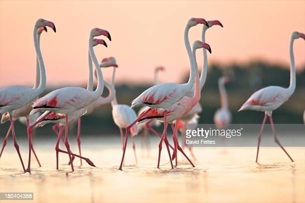group of flamingos at dawn, oristano region in sardinia, italy - laguna foto e immagini stock