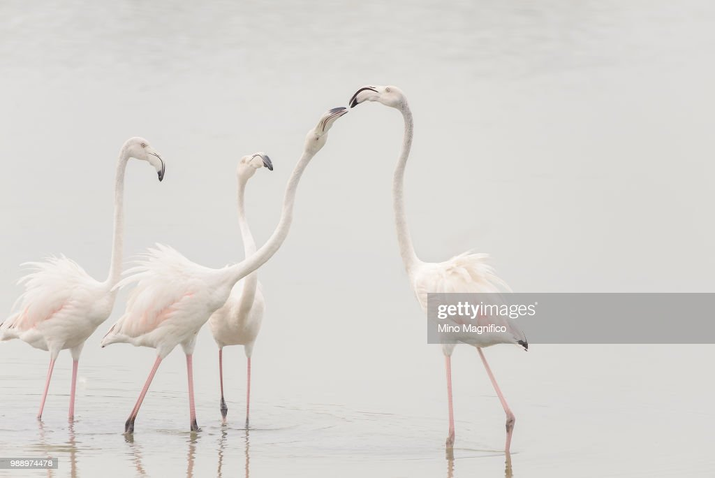 A group of flamingos in shallow water. : Stock-Foto