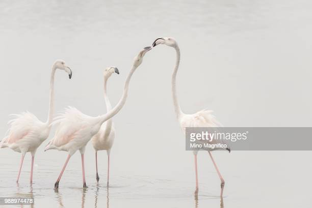 A group of flamingos in shallow water.