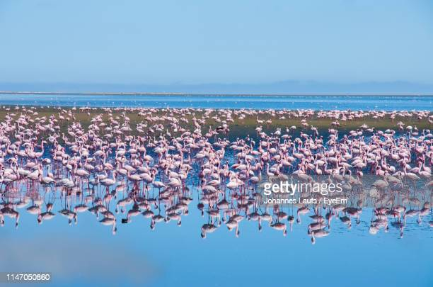 group of flamingos on shore at beach against clear blue sky - walvis bay stock photos and pictures