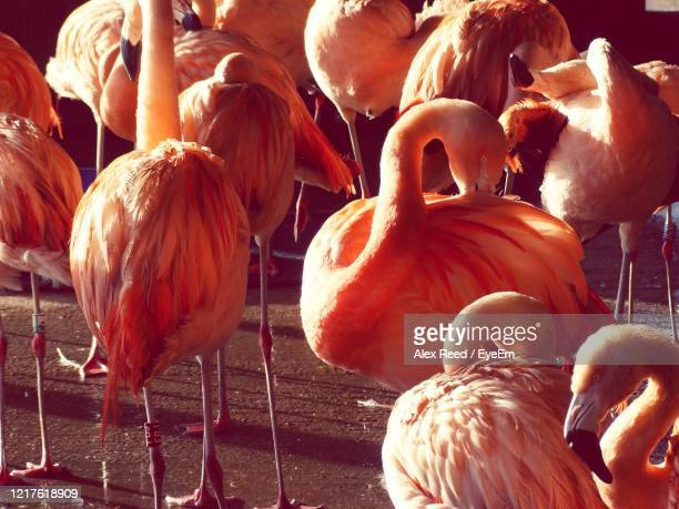 group of flamingos - alex reed stock pictures, royalty-free photos & images