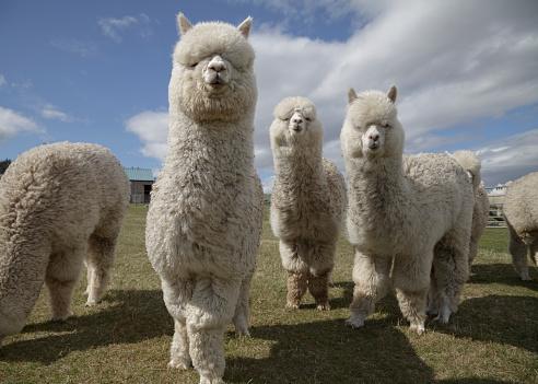 Group of fluffy white alpacas on a farm in Scotland 180723850
