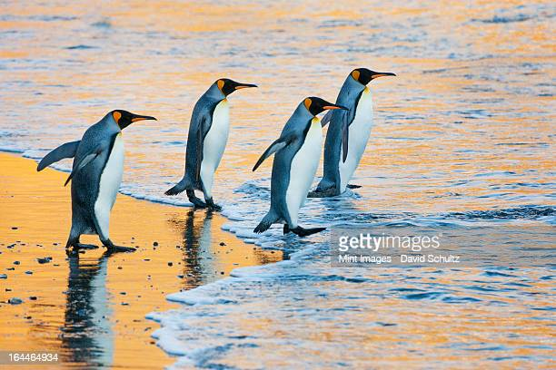 a group of four adult king penguins at the water's edge walking into the water, at sunrise. reflected light. - koningspinguïn stockfoto's en -beelden