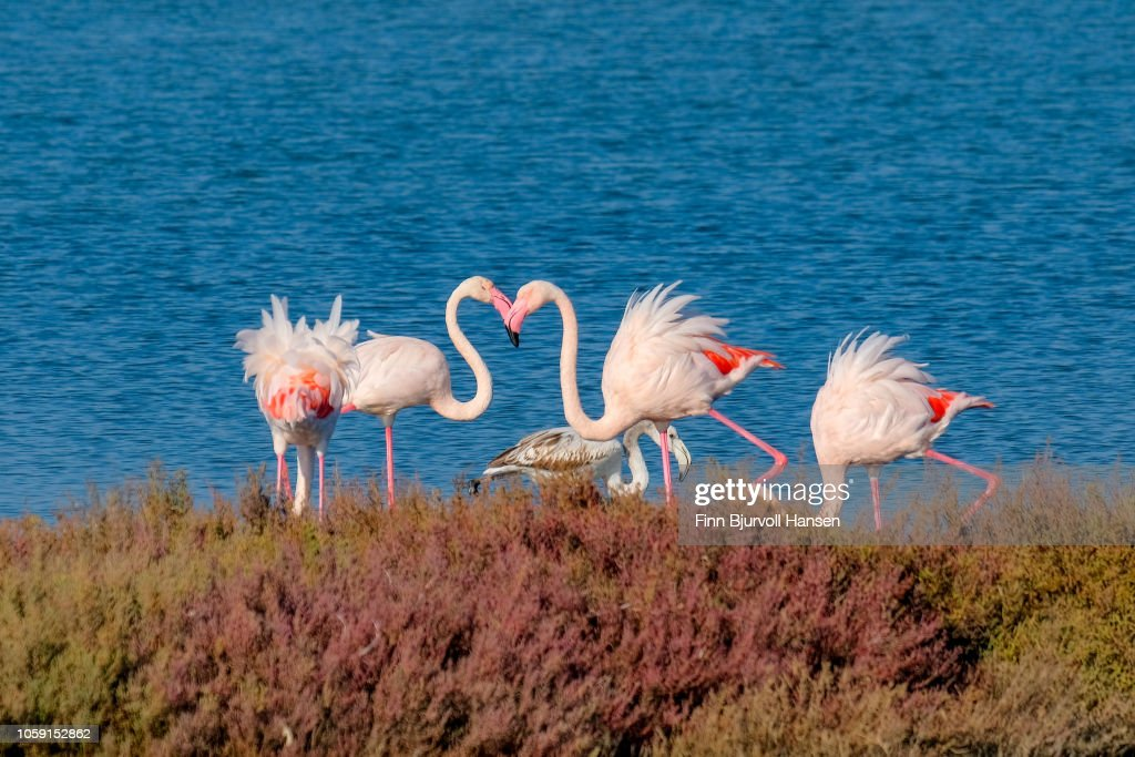 Group of four flamingoes standing in the water : Stock Photo