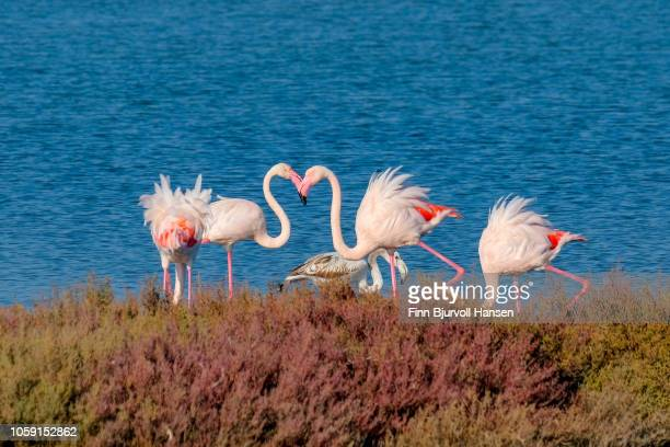 group of four flamingoes standing in the water - finn bjurvoll stock pictures, royalty-free photos & images