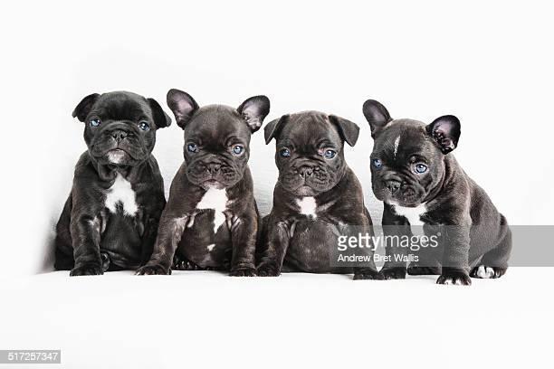 Group of four French bulldog puppies posing