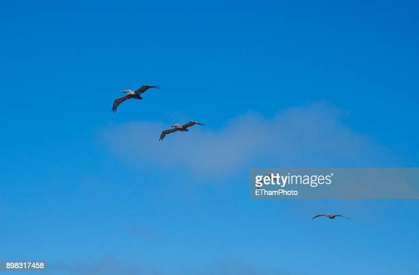 Group of four pelicans in flight