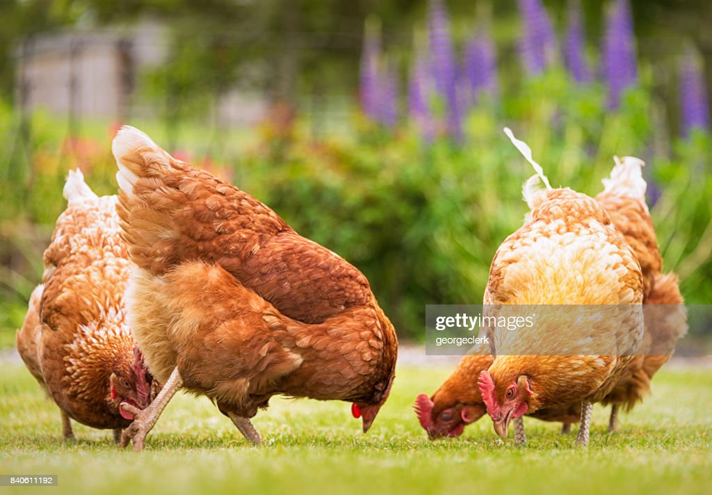 Group of free-range hens foraging for food : Stock Photo