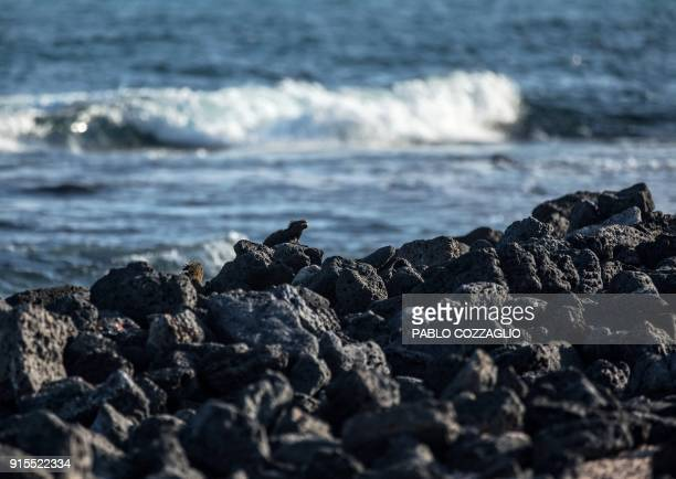 A group of Galapagos marine iguanas sunbathe at Tortuga Bay beach in Santa Cruz Island Galapagos Ecuador on January 20 2018 Ecuador's growing tourism...
