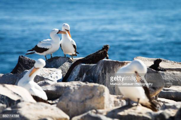Group of Galapagos waved albatross next to marine iguanas on rocks infront of the ocean