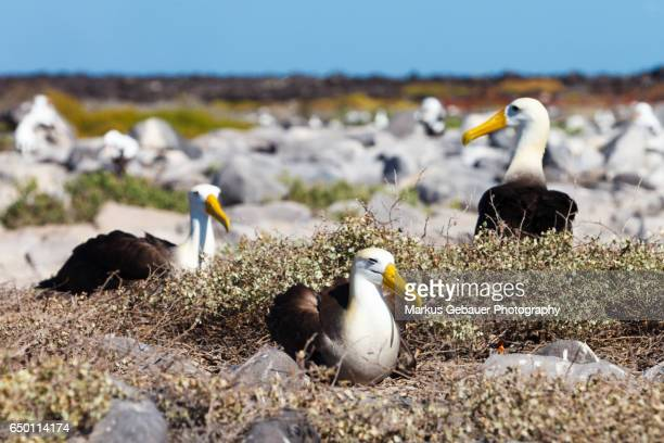 Group of Galapagos waved albatross sitting on ground