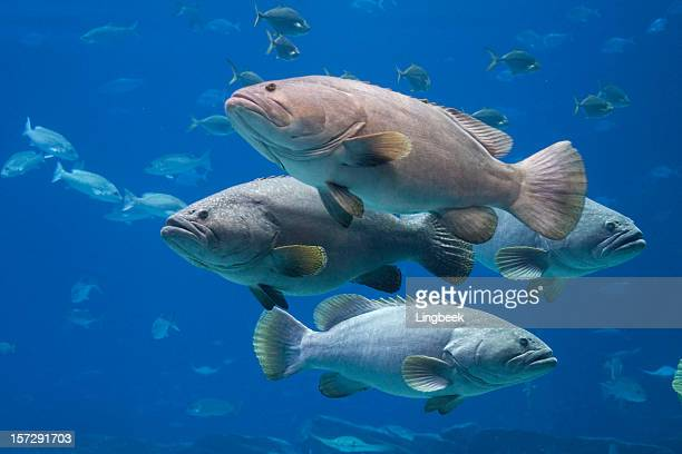 Group of Giant Groupers