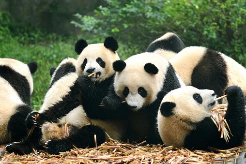 Group of giant panda eating bamboo Chengdu, China 158559762