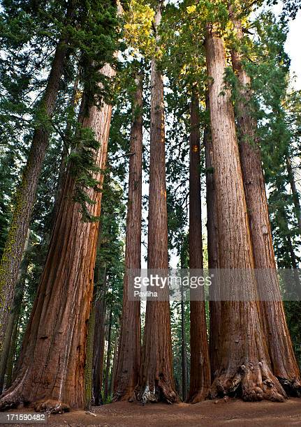 Group of Giant Sequoias in National Park California USA