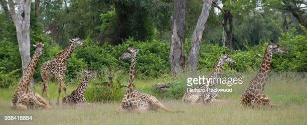 a group of giraffe lying down in a zambian national park during the rainy season - south luangwa national park stock pictures, royalty-free photos & images