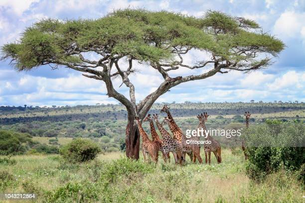 group of giraffes below an acacia tree - safari animals stock pictures, royalty-free photos & images