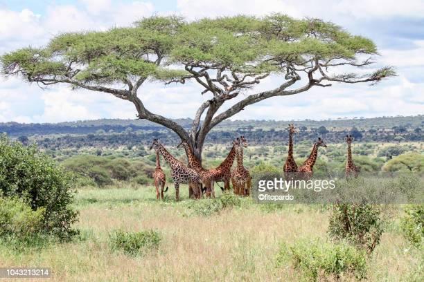 Group of giraffes below an acacia tree