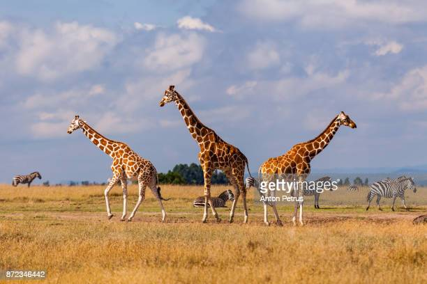 group of giraffes in the savannah, kenya - safari animals stock pictures, royalty-free photos & images