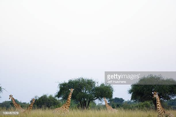 A group of giraffes look out over the grasslands of Zakouma National Park on October 24 2008 in Zakouma Chad The park is home to vastly diminishing...
