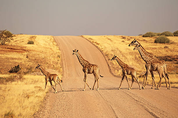 Group Of Giraffes Walking On The Gravel Road In Namibia Wall Art