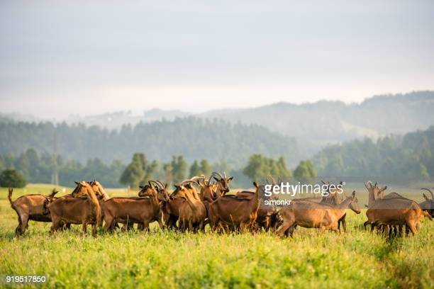 group of goats on grassy landscape - animal behaviour stock pictures, royalty-free photos & images