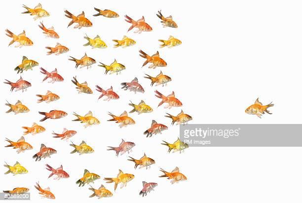 Group of goldfish facing one goldfish