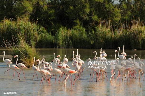 group of greater flamingos in a pond, camargue, france - サントマリードラメール ストックフォトと画像