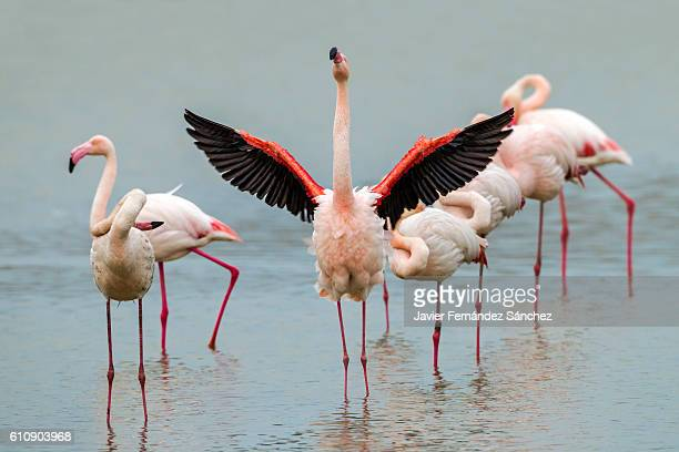 a group of greater flamingos (phoenicopterus roseus) in the camargue, france. - spread wings stock pictures, royalty-free photos & images
