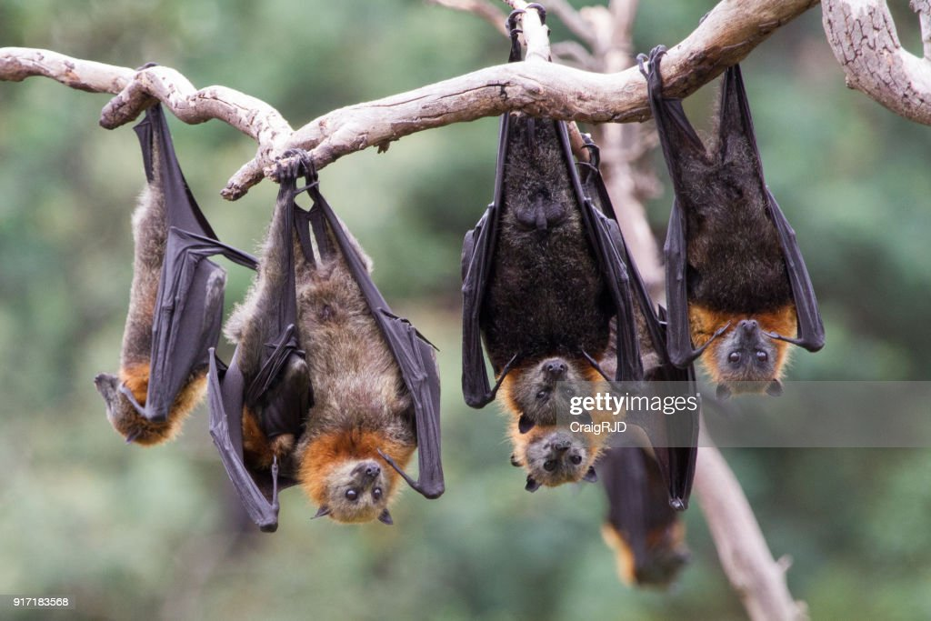 Group of Grey Headed Flying Foxes : Stock Photo