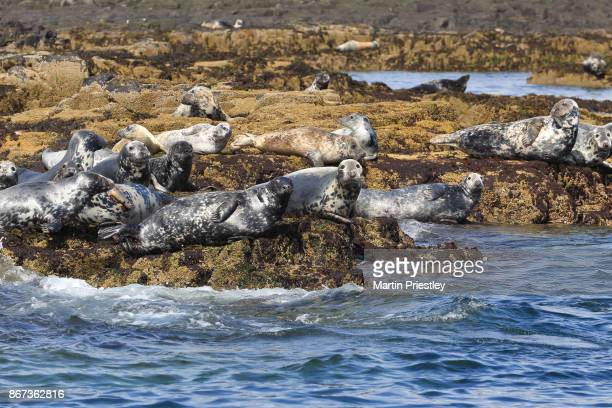 group of grey seals (halichoerus grypus) at the farne islands, northumberland, uk - northumberland stock photos and pictures