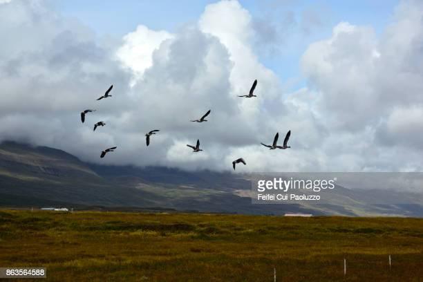 group of greylag goose flying through hroarstunga east iceland - austurland stock-fotos und bilder
