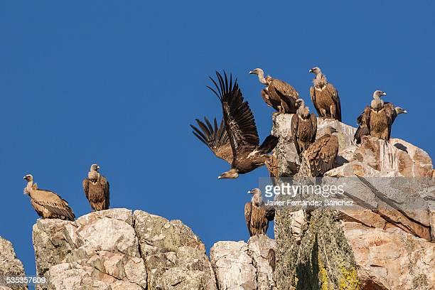 Group of griffon vultures, Gyps fulvus, Monfrague