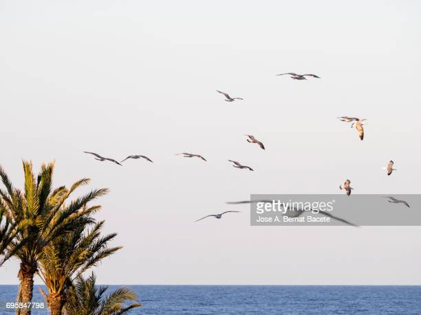 Group of gulls flying on a beach with palms to the late afternoon. Tabarca Island in Alicante, Valencian Community, Spain.