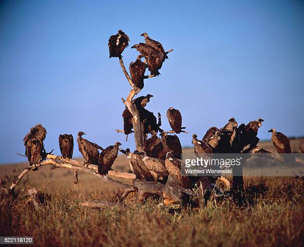 A group of gyps africanus on the steppe, african