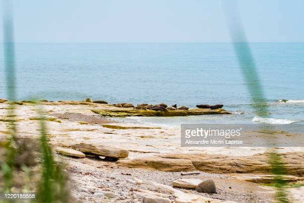 group of harbor seals (phoca vitulina) also known as common seals sunbathing on the seaside - alexandre coste foto e immagini stock