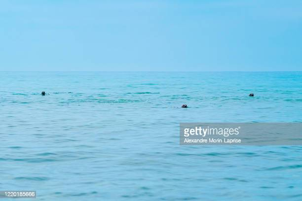 group of harbour seals (phoca vitulina) also known as common seals swimming in the ocean looking at the camera - alexandre coste foto e immagini stock